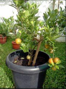 Tanaman Jeruk dalam pot