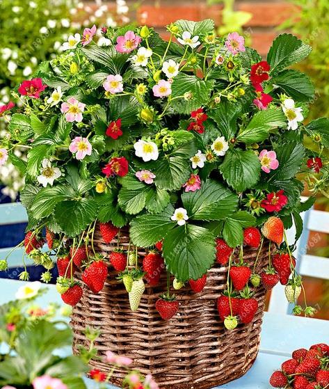 tanaman strawberry dalam pot