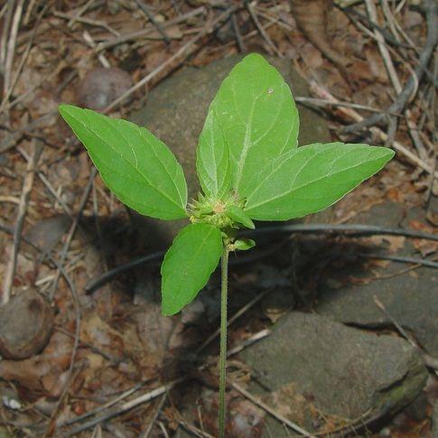 Acalypha virginica