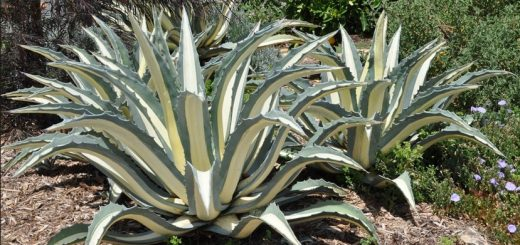 Agave Mediopicto