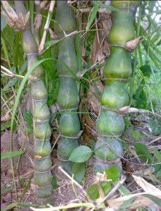 Bambu Nagin