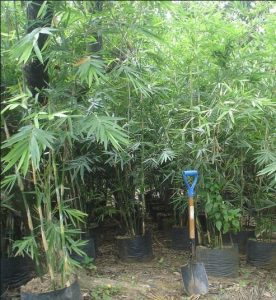 Bambu Thailand