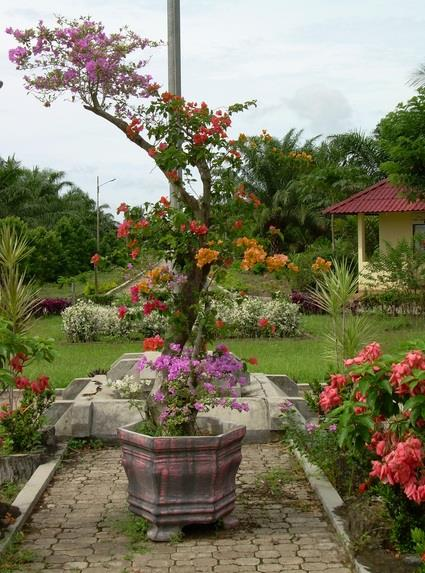 Harga Tanaman Bougenville