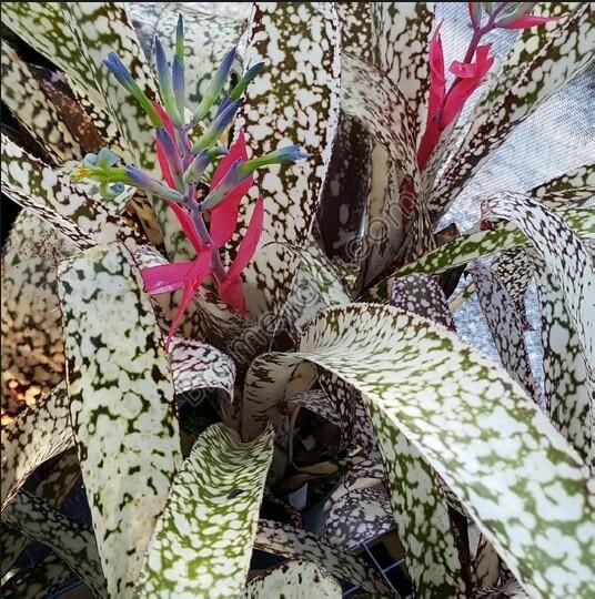 Bromelia Bilbergia