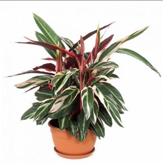 Calathea Multicolor