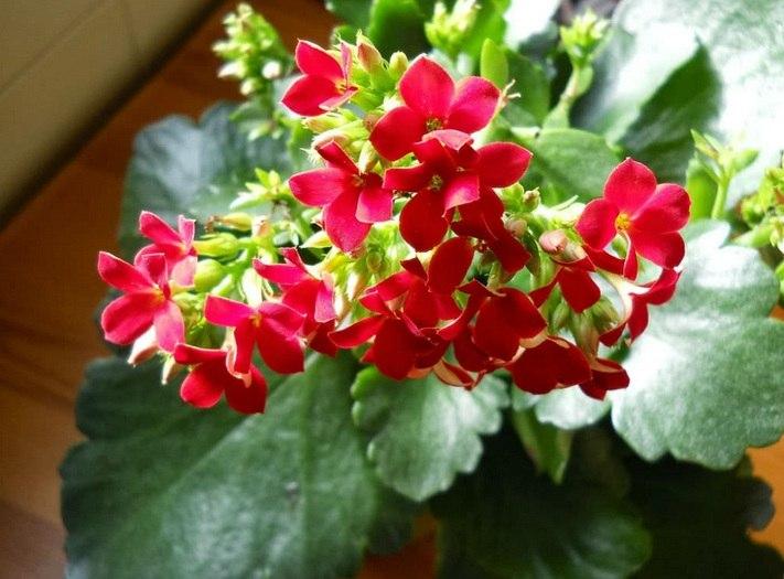 Bunga Cocor Bebek