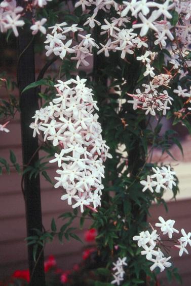 Jasminum polyanthum