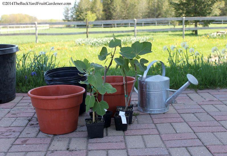 Bibit buah tin sebelum di pindah tanam di pot yang lebih besar