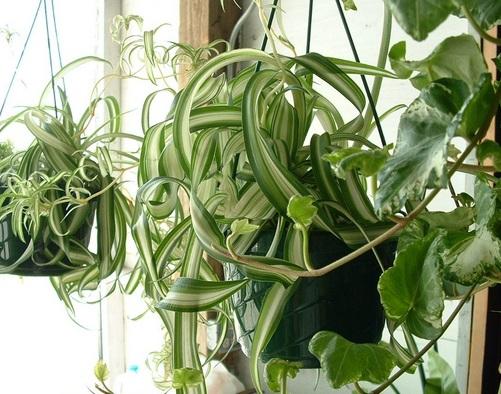 "Chlorophytum comosum ""Curly"""