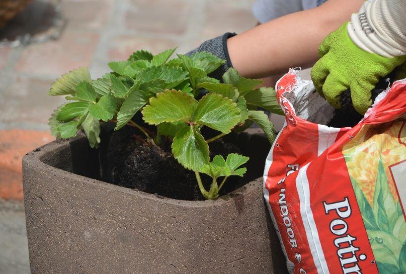 Pemberian pupuk organik untuk tanaman buah dalam pot