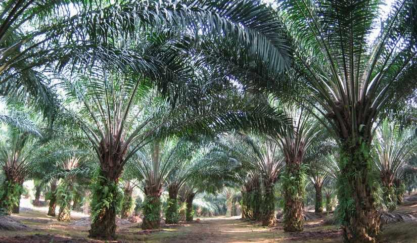 Pupuk ZA untuk kelapa sawit