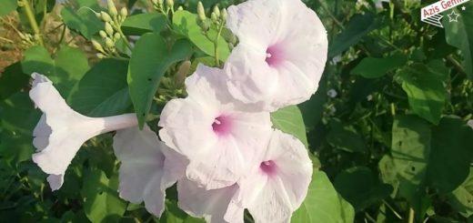 Bunga Kangkung