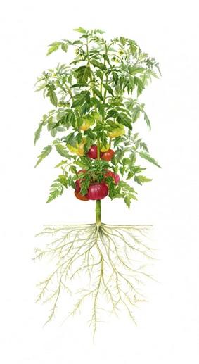 Akar Tomat