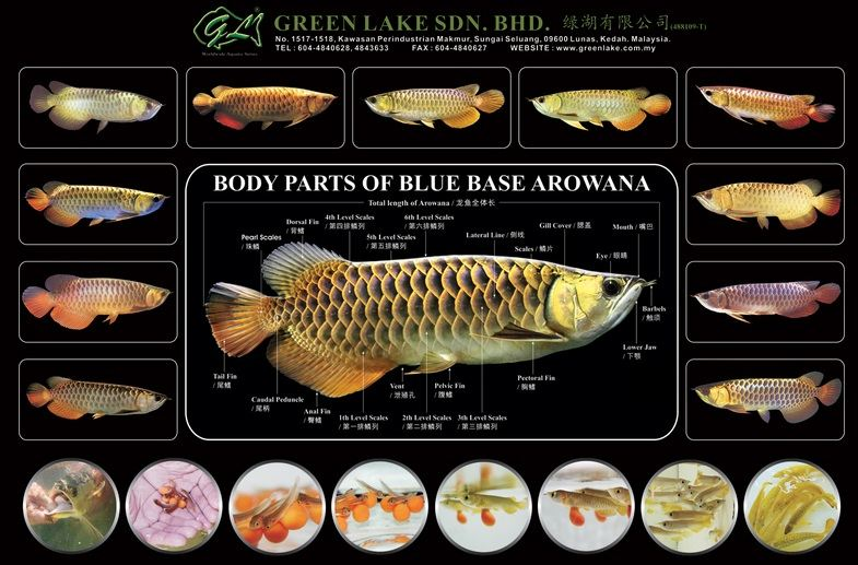Arwana Blue Base