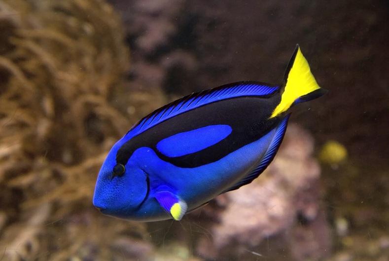 Ikan Bluetang