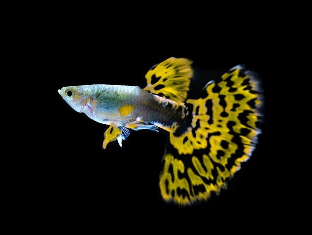 Ikan Guppy Dengan Warnanya Yang Cantik