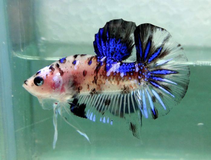 Keindahan Warna Ikan Cupang