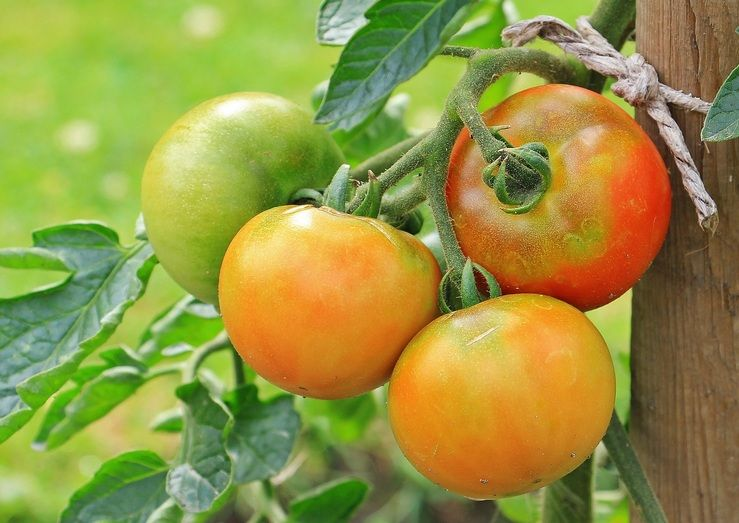 Tomat Yang Berbuah